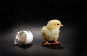 Newcomer chicken
